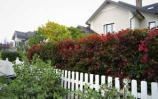 Живая изгородь: кустарники на даче