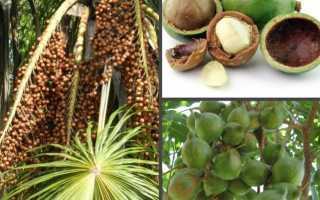 Орех макадамия: польза и вред для организма, цена, противопоказания, отзывы, фото, где растет