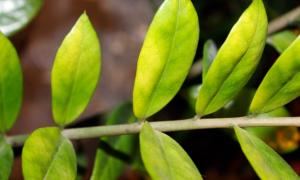 Замиокулькас: желтеют листья – что делать