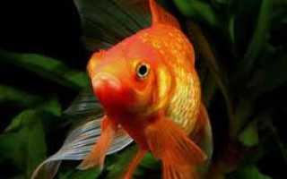 Уход за золотыми рыбками – что необходимо знать?