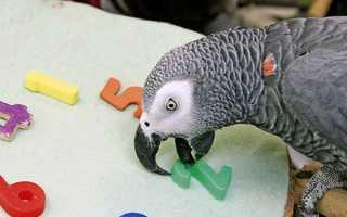 Говорящие породы попугаев и их способности