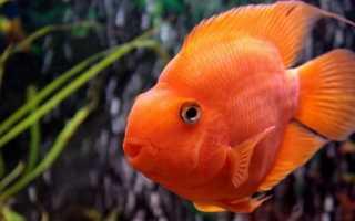 Рыбы попугаи: особенности ухода и содержания