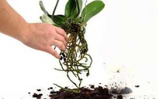 Как пересадить орхидею Фаленопсис?