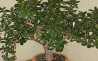 Денежное дерево: размножение растения