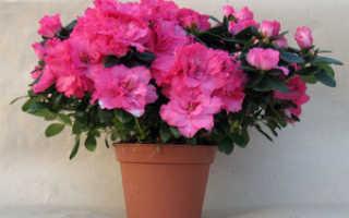 Азалия: как правильно ухаживать за капризным цветком