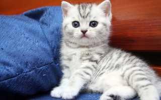 Британские кошки: уход за любимцами