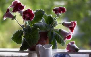 Глоксиния: бархатная роскошь на вашем окне