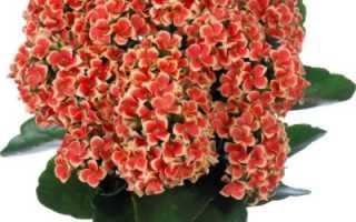 Выращивание каланхоэ в домашних условиях: уход, видео, размножение, болезни, лечение