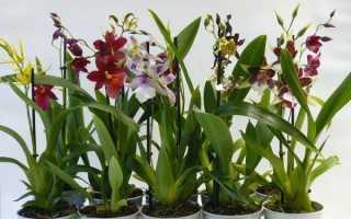 Орхидея Камбрия – ваше персональное чудо