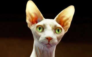 Кошка Сфинкс: уход за необычным питомцем