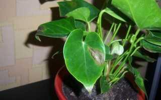 Пятна на листьях антуриума: что делать, почему появляются коричневые, черные, темные, сухие