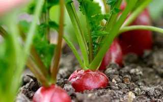 Редиска: выращивание и уход