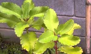 Каланхоэ перистое – выращиваем правильно
