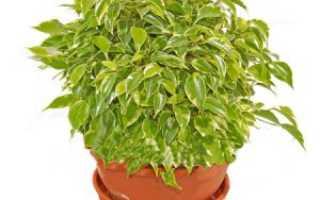 Фикус Кинки – идеальное комнатное растение
